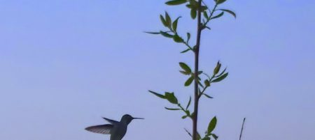 Evening Hummingbird